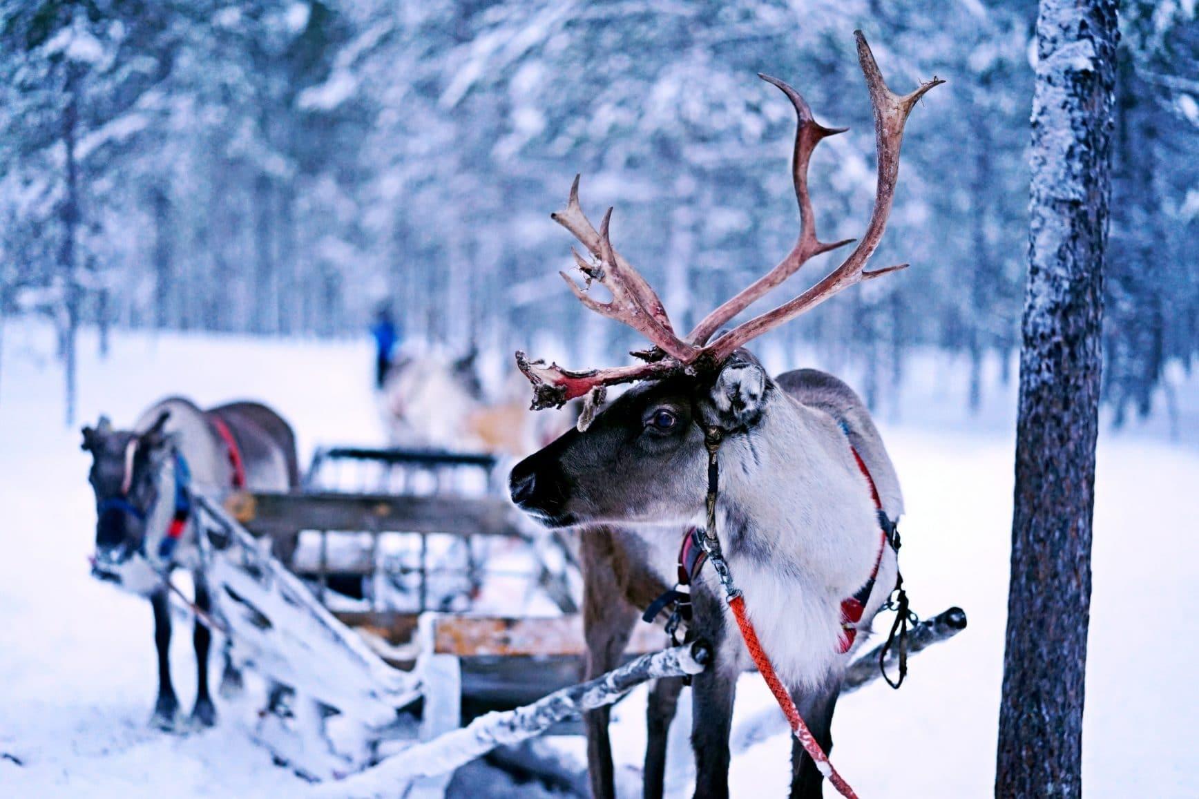 reindeer pulling sled